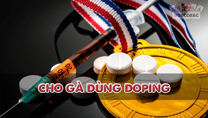 Gà chiến cũng trở nên sắc sảo và tinh ranh hơn rất nhiều khi sử dụng doping